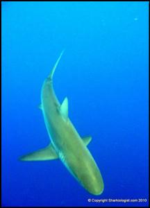 Galapagos Shark 4