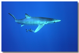 shark encounters section azores