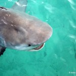 Big Bull Sharks (Carcharhinus leucas) at North Bimini Docks