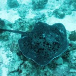 Black Stingray, N. Male Atoll, Maldives