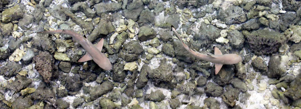 Juvenile Blacktip Sharks