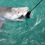 Bull Shark goes for the bait, North Bimini, Bahamas