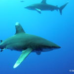 From this angle the Oceanics latin name becomes apparent Carcharhinus Longimanus the latter meaning long hands