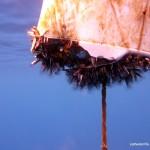 Goose Barnacles, Malapascua Island, Philippines
