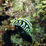 Nudibranch (Phyllidia varicosa), North Ari Atoll, Maldives