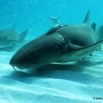 Nurse Sharks (Ginglymostoma cirratum) by the dozen, South Bimini, Bahamas