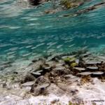Shoal of Fry, Macharchar, Rock Islands, Palau