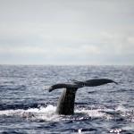 Sperm Whale, Faial Island, Azores