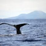 Sperm Whale mother dives, while calf waits, Faial Island, Azores