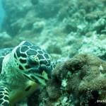 Hawksbill Turtle, S. Ari Atoll, Maldives