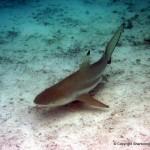 Blacktip reef shark (Carcharhinus melanopterus) Palau