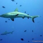 Grey reef sharks (Carcharhinus amblyrhynchos) in a shoal of Triggerfish, Palau