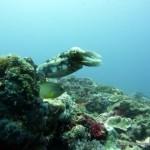 Cuttlefish with Damselfish, Monad Shoal, Philippines